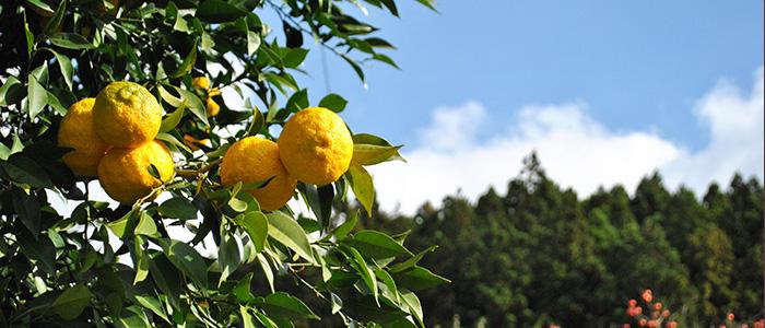 とある民家の柚子の木の風景