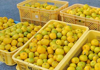 沢山収穫された柚子の写真